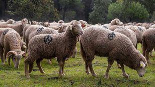 Más de 700 ovejas pastan en  los miontes de Boadilla como parte del trabajo de prevención de incendios.