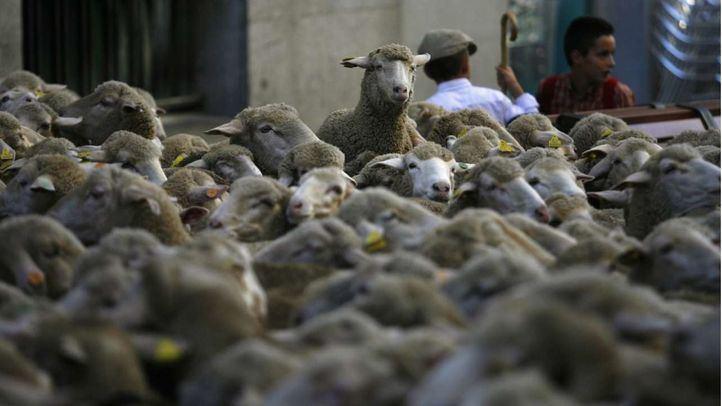 Las ovejas tomarán la capital este domingo