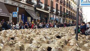 Más de 1.500 ovejas y cabras recorren Madrid
