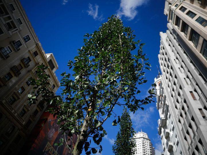 Los árboles 'brotan' en la nueva Gran Vía
