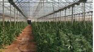 Invernadero con 9.000 plantas de marihuana.