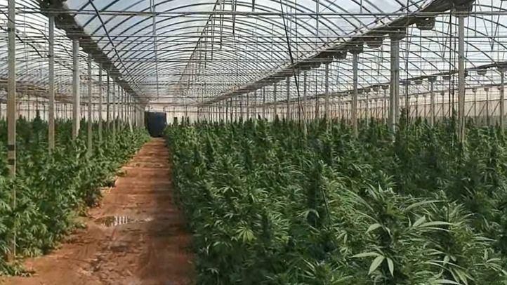 Detenidas ocho personas por el cultivo de 9.000 plantas de marihuana