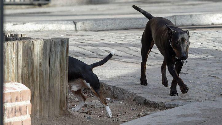 Atacado por un pitbull mientras miraba un escaparate en Canillejas