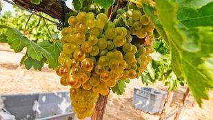 Los ultrasonidos aumentan la capacidad antioxidante de las semillas de uva