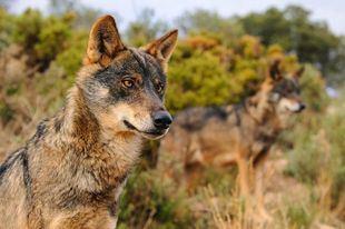 Los ataques de lobos se multiplican por veinte desde 2012 y casi alcanzan ya los 400