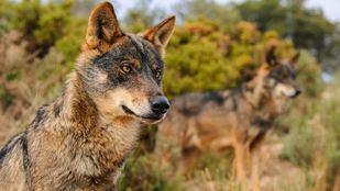 Foto de archivo del lobo ibérico.