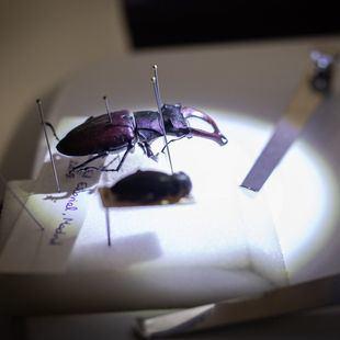 Nuevos inquilinos en Casa de Campo: tencas, escarabajos y mariposas