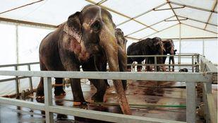 Elefantes del circo mundial. Foto de archivo.