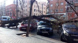 Caída de un árbol en Embajadores.