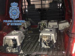Rescatados 12 chihuahuas de un criadero ilegal en Meco