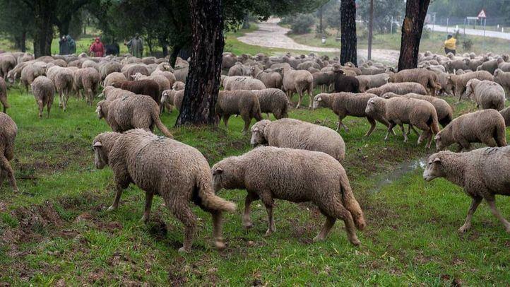 Más de 700 ovejas pastan en los montes de Boadilla como parte del trabajo de prevención de incendios, mismo trabajo que harán las 600 ovejas de Casa de Campo.