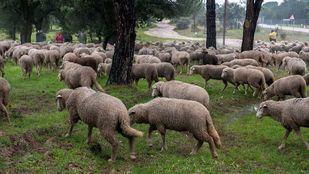La Casa de Campo volverá a llenarse de ovejas esta semana