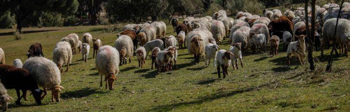 Apadrinadas las primeras ovejas de la Casa de Campo