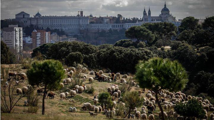 Ovejas permanentes en la Casa de Campo de Madrid