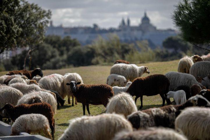 Rebaño de ovejas pastando en la Casa de Campo.