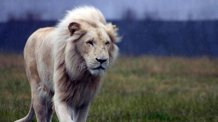 Tres leones de un circo, de paseo por Ríos Rosas
