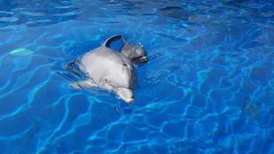 Madre y cría de delfín en el zoo.