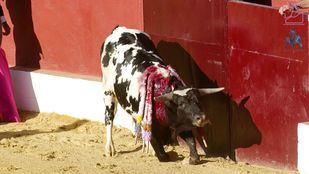 Asociaciones animalistas han hecho público este miércoles un vídeo para denunciar la 'excepcional crueldad' de las becerradas.