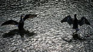 Una pareja de cormoranes grandes (Phalacrocorax carbo) secan sus plumas al sol.