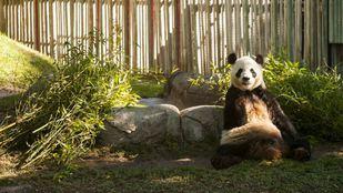 Un Panda Gigante en el Zoo Aquarium de Madrid.