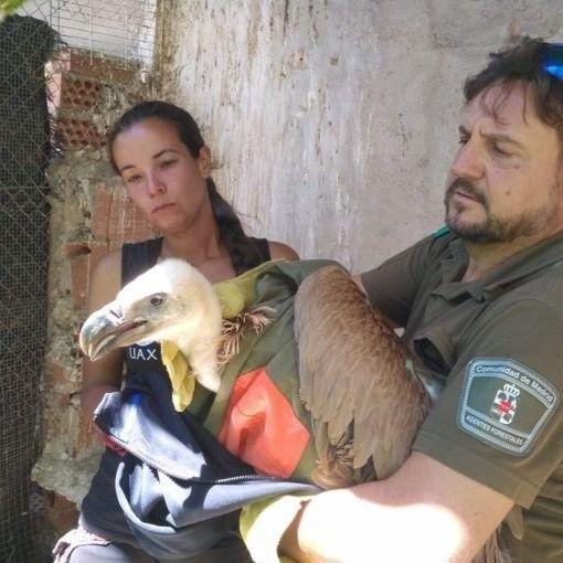 Agentes forestales rescatan un ejemplar de buitre leonado