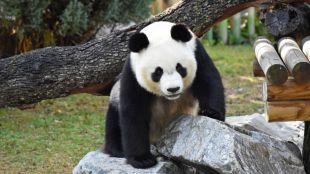Osos panda en Madrid: ante el reto de la reproducción