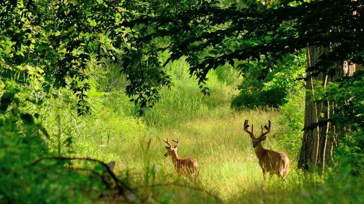 El otoño comienza con la berrea del ciervo