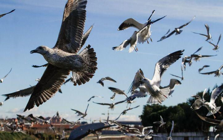 Una bandada de gaviotas alza el vuelo a la altura de la presa número 8 de Madrid Río
