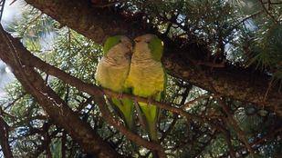 Dos cotorras en un árbol.