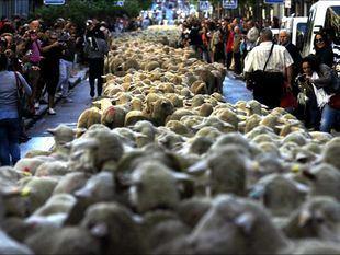Más de 1.800 ovejas pasearán por la capital el domingo