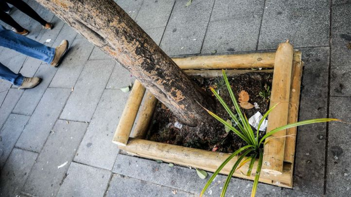 El Ayuntamiento plantará 8.377 árboles en alcorques vacíos de diciembre a marzo