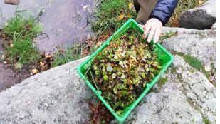 Imagen de agentes forestales retirando la planta invasdora en el río Manzanares