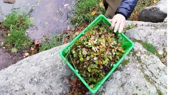 Retirados 40 kilos de una planta invasora que estaba creciendo en el Manzanares