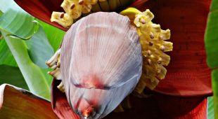 Flor de plátano para la diabetes: ¿Un nuevo remedio para los diabéticos?