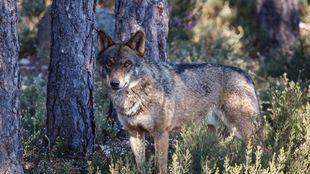 Muerto de un disparo el lobo de un proyecto de geolocalización