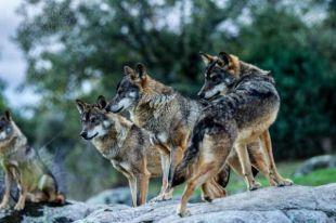 Ejemplares del lobo ibérico