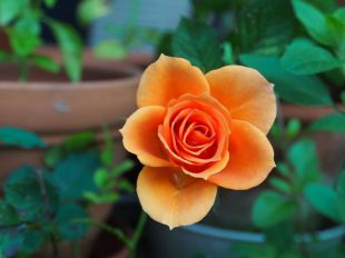 Datos curiosos e interesantes sobre algunas flores y plantas