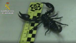 Desmantelada una tienda de animales que enviaba por mensajería tarántulas y escorpiones