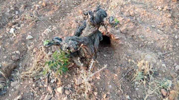 La sobrepoblación del conejo silvestre enfrenta a agricultores y ecologistas