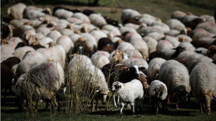 Inversión de 1,2 millones para el control sanitario del ganado y evitar ataques de lobos