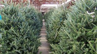 Comienza la recogida de abetos navideños en los viveros municipales