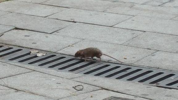 Plaga de ratas en Alcorcón