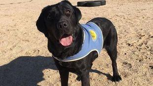Pocahontas, la perra especializada en ayuda a personas con discapacidad robada en Aranjuez.
