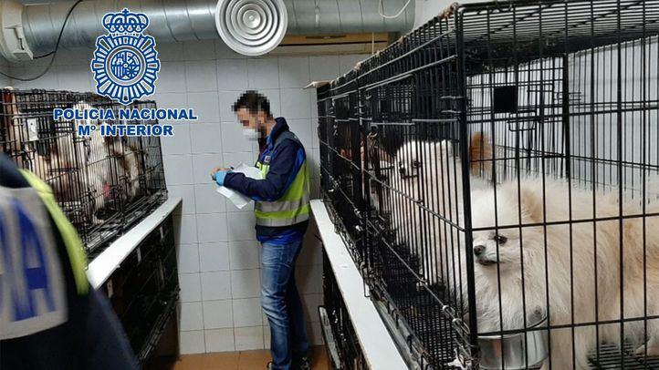 Desmantelados dos criaderos ilegales de chihuahuas