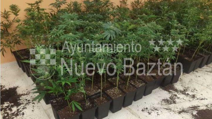 Imagen de plantas de marihuana intervenidas en la localidad de Nuevo Baztán