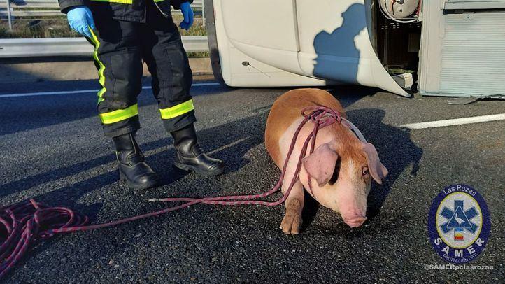 Un camión lleno de cerdos choca contra un guardarraíl de la A-6 y deja cinco heridos