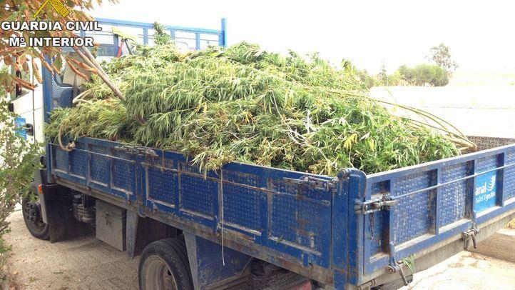 Intervenidas 6.000 plantas de marihuana en diversos puntos de la Comunidad