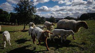 El bovino, el porcino y el caprino, los sectores más afectados.