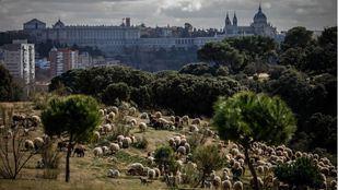 Rebaño de ovejas permanente en la Casa de Campo de Madrid.