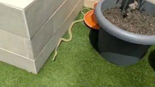 La serpiente capturada por los agentes.